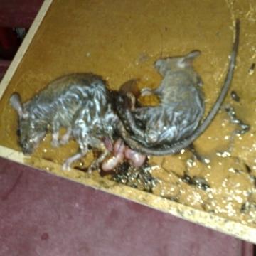 老鼠的生態