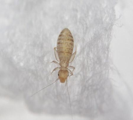 嚙蟲(書蝨)