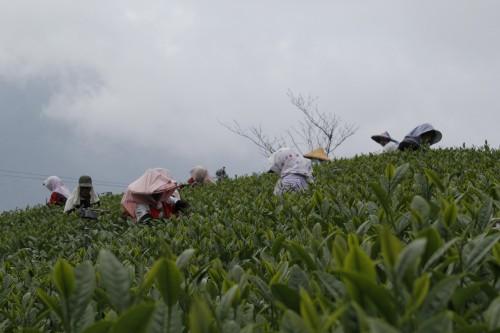 阿里山觀光茶園-御統茗園
